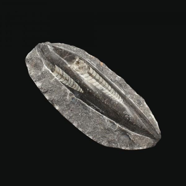 Orthoceras Fossil in schwarzem Marmor